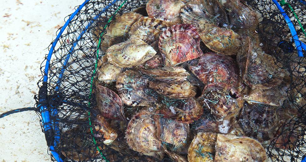 アコヤ真珠の母貝アコヤ貝