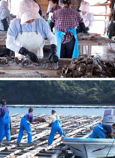 アコヤ貝を養成ネットに入れる