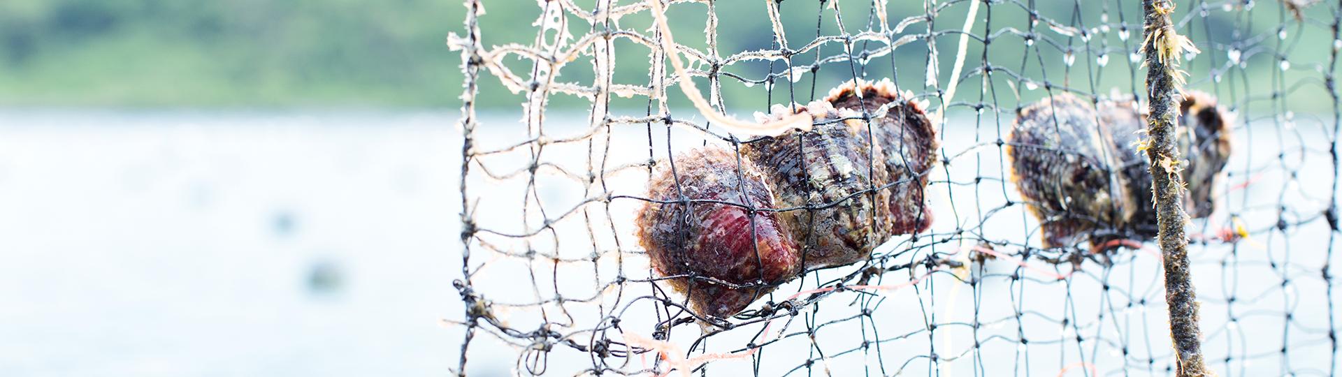 アコヤ真珠は日本の美しい海で生まれています