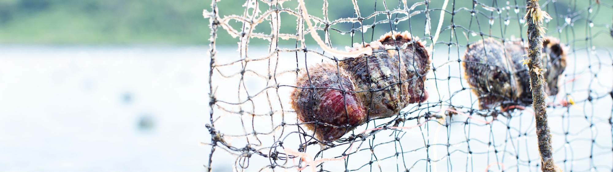 貝の状態を一番に考え、ストレスを与えぬよう、ゆったりとした環境と時間が良い真珠を育みます。